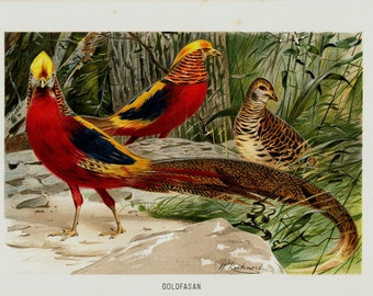 1890 Gorgeous GOLD PHEASANT  fine chromolithograph, lovely red and yellow pheasant in the undergrowth, 122 years old gorgeous print