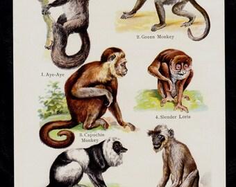 1909 Antique print of Monkey species,  Aye-aye, lemur, Slender Loris, tarsier,  lithograph + 100 years older