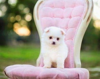 Pomeranian Puppy in Pink French Chair- Instant photo download