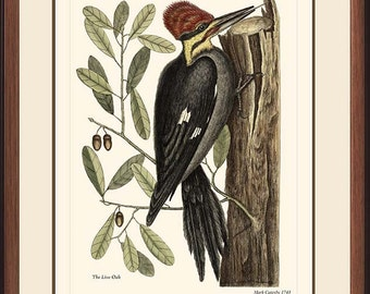 PILEATED WOODPECKER - Vintage Catesby bird print reproduction  - 60