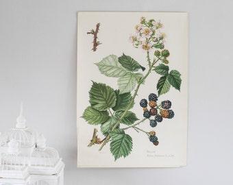 XL Vintage Botanical Print, Blackberry, Botanical Poster, School Print