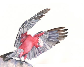 Galah Print of watercolor painting G00415- A4 size  medium print wall art print - bird art print