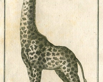 1799 Antique Giraffe Print Original French Engraving Safari Animal Buffon