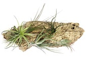 Air Plant Wall Hang: Vertical Garden, Air Plant Holder, Air Plant Planter