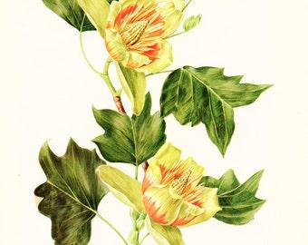 1972 Botanical art Vintage Tulip tree poster Tulip poplar tuliptree poster Botanical art French floral liriodendron Tulipifera  wall art