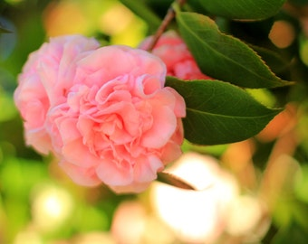 Pink Camellias Photo Print - Romantic Flower Photography - Size 8x10, 5x7, or 4x6