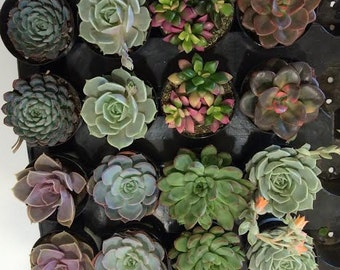 Succulent Plants - 15 Party Pack in pots.  For Terrariums, Wedding, Favors, Centerpieces, Boutonnieres and More