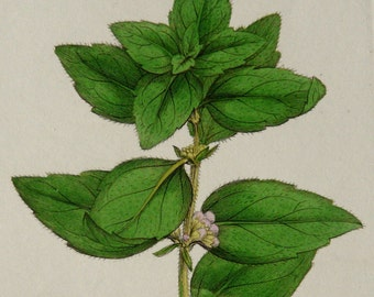 1810 antique print of a MINT PLANT. Gingermint. Redmint. Scotchmint. Botany. 216 years old botanical copper engraving