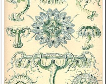 Blue Jellyfish Art Print, Jellyfish Poster, Ernst Haeckel Illustration, Art Nouveau Marine Life Art, Educational Wall Art, Natural History