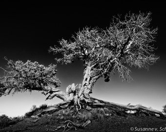 Black & White Photography, Ancient Tree, Travel Photography, Monument Valley, Fine Art Print, Nature Photography, Tree Photo, National Park