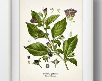 Deadly Nightshade - Atropa Belladonna - KO-25 - Fine art print of a vintage botanical natural history antique illustration