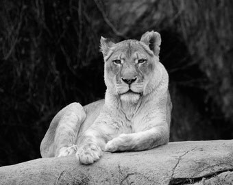 Lioness picture, black and white art lion photo print, zoo animal photography, large paper or canvas wall decor 5x7 8x10 20x30 24x36 30x45