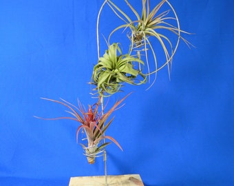 Three Station Air Plant Holder Shepherds Hook / FREE SHIPPING