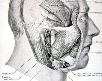 Antique Anatomy Medical (Front and Back Page)  Print of Facial Muscles and Nose