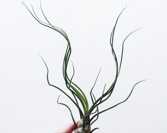 Bulbosa | Air Plant, Airplant, Tillandsia