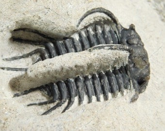 wOw TWO SPECIES! A Comura Trilobite Fossil and Barrandoeps From Morocco 1370gr