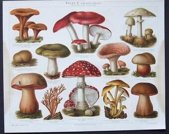 Antique botanical illustration of Fungi  (German)
