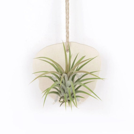 Wall hanging natural wood planter with air plants by joinfolia for Air plant wall hanger