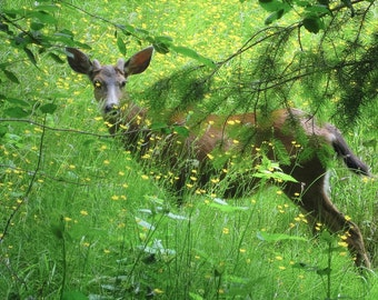 Photograph of a deer in a meadow