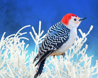 Bird Wall Art, Red Bellied Woodpecker in Winter, Red Bird in Snow, Frosted Branches, Red and Black, Wildlife Art Print, Fine Art Photography