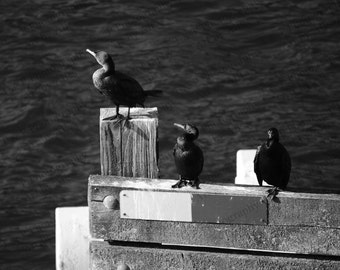 BLACK and WHITE PHOTOGRAPHY, Digital Download Photo, bird photography, ocean photo, sea life, instant download, printable art, digital print