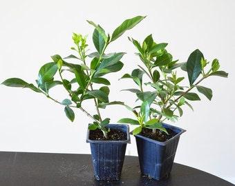 White Gardenia - 2 Set (FREE SHIPPING)