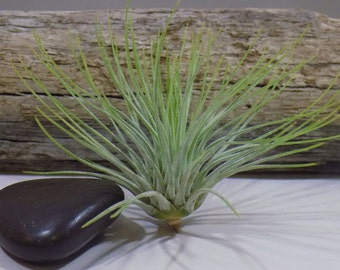 Andreana (Small) Tillandsia Air Plant  - Tropical Ephiphyte