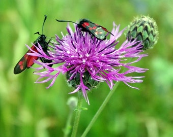 Knapweed  photograph, wild flower photograph, Nature photography, insect pictures,  purple flowers, wall art decor gift, country wildlife