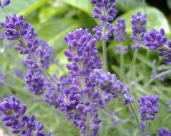 Lavender Seeds - Lavandula Angustifolia Vera - 200+ seeds!