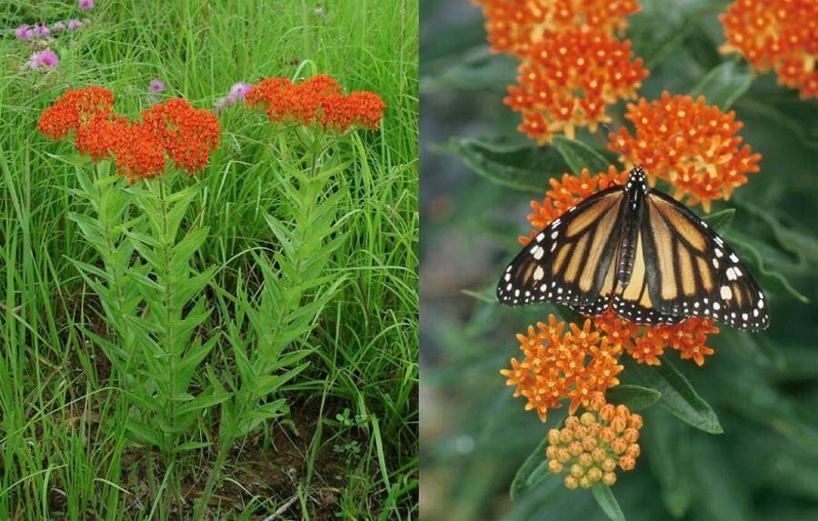 Butterfly Weed Seeds Orange Asclepias Tuberosa Chemical
