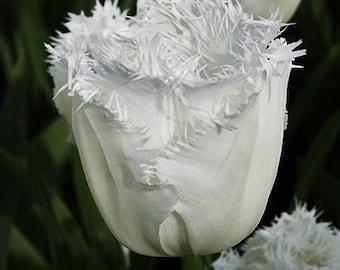 20 Tulip Bulbs - Daytona Fringed Tulip