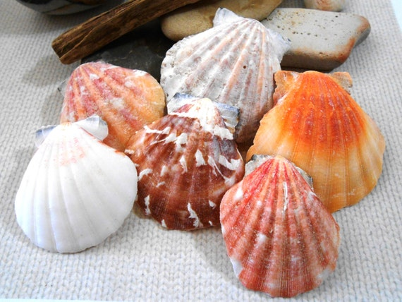 10 natural scallop shells large scallop shells 1 2 inch for Big seashell crafts