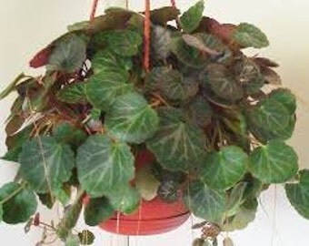 Live House Plant Strawberry Begonia *Old  Timey Favorite *