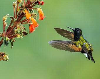 Hummingbird Photo, Hummingbird Print, Nature Print, Fine Art Print, Bird Picture, Bird Photography, Wall Art, Art, Black-bellied Hummingbird