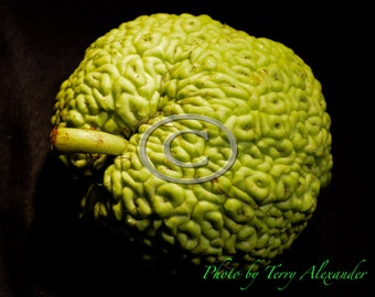 Osage Orange Photo, Bodark Apple, Bois D'Arc Photo, Horse Apple, Hedge Apple Photo, Green Apple Photo, Nature Photo, Nature Art, Hedge Apple