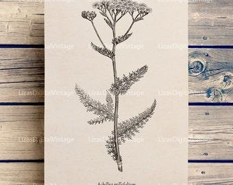 Wall art flowers, Yarrow illustration, Printable digital art, Botanical vintage, Floral art, Flower print, Flower clip art, Prints JPG PNG