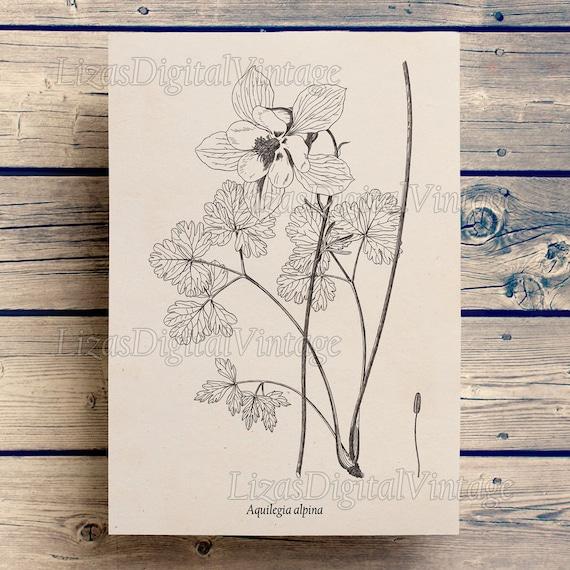 Flower print, Columbine, Antique art print, Floral art, Flower illustration, Aquilegia, Vintage art, Floral print, Instant download, JPG PNG