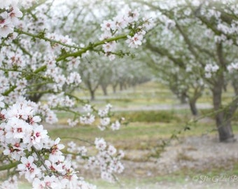 "Fine Art Photography, Flowering Fruit Trees, Sage Green, Dreamy Landscape, Almond Blossoms, ""Almond Orchard"""