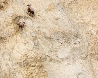 Climbing Big Horn Sheep