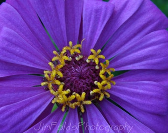 Zinnia, Zinnia Photograph, Purple Flower, Flower Photography