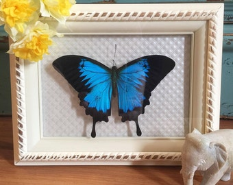 REAL Butterfly, taxidermy, white, Papilio ulysses, Shadow box, Shabby Chic