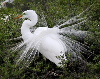 Breeding season - Great Egret