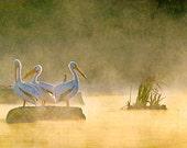 White Pelicans, Nature Ph...