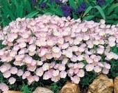 Showy Evening Pink Primrose Flower Seeds/Perennial  50+