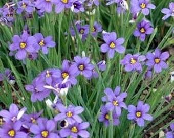 Blue Eyed Grass Flower Seeds/Sisyrinchium/Perennial   30+