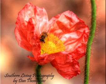 Red Poppy, Flower, Wall Art, Photography, Spring, Red, Poppy Flower