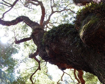 """Angel Oak Photograph-""""Grow Up"""""""