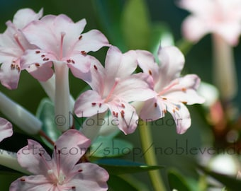 """Pink Hawaiian Orchids Poster - VARIOUS SIZES 8x10"""" 10x10"""" 12x12"""" 12x16"""" 14x14"""" 16x16"""" 12x18"""" 18x18"""" 16x20"""" 18x24"""" 24x36"""""""