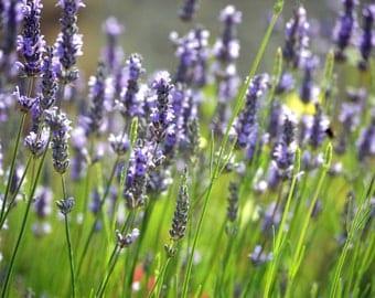 Lavender Photograph Print