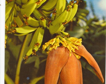 Hawaiian Views OF A BANANA BLOSSOM Color Postcard-B Unposted #S-24 1951